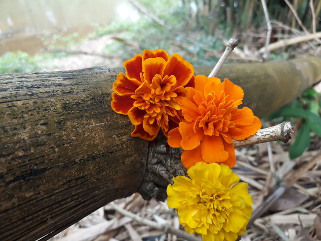 Petal Flower Beauty In Nature Plant Marigold