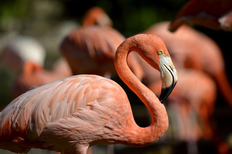 Caribbean flamingo latin name phoenicopterus ruber