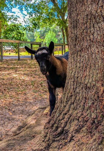 Goat Life Kid Tree Goatfarm Nature No People Outdoors Dairy Goat Goat Pet Portraits