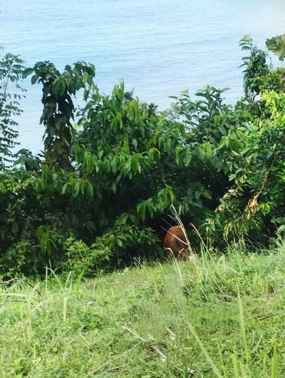 A cow just hiding in the bushes and eating. I assume that it is tethered and will be collected by the owner after work. Majestic Idyllic Local Practice Check This Out Capture The Moment Popular Photos The Week on EyeEm EyeEm Best Shots EyeEmNewHere EyeEm Nature Lover Eye4photography  EyeEm Gallery Tethered Sea Cow Field Growth Nature Day Green Color No People Tree Outdoors Plant Beauty In Nature Animal Themes Grass Mammal