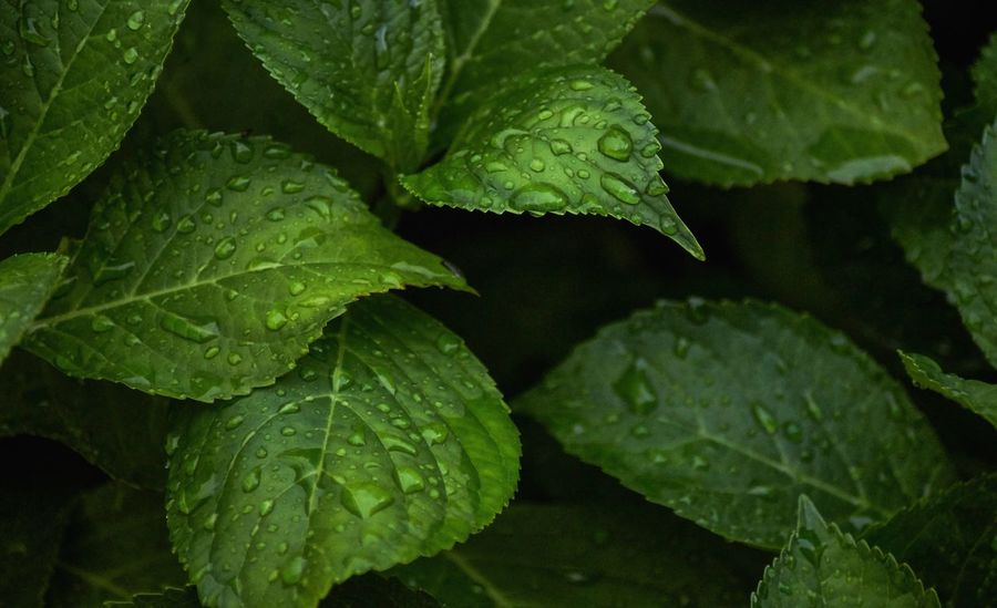 Leaf with raindrops Leaf Plant Part Green Color Growth Plant Drop Freshness Nature Water Food And Drink Close-up No People Wet Beauty In Nature Food Full Frame Healthy Eating Leaf Vein Day Leaves