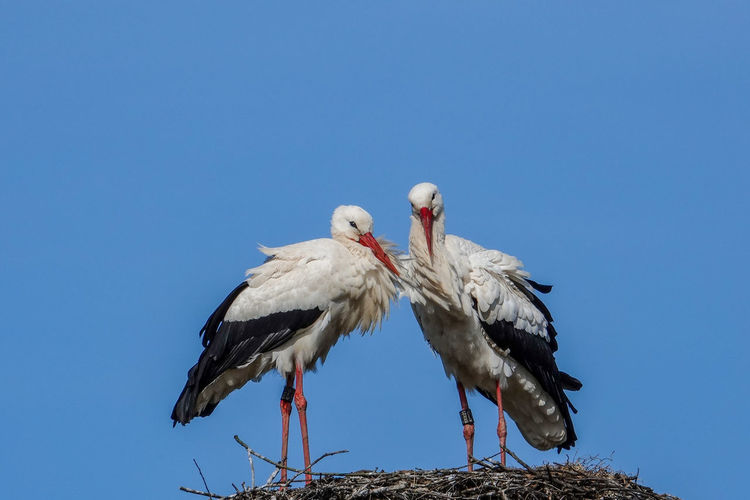 Im Nest Lilli Und Hannes Storchennest Storchenpaar Trendelburg Blauer Himmel Und Sonnenschein