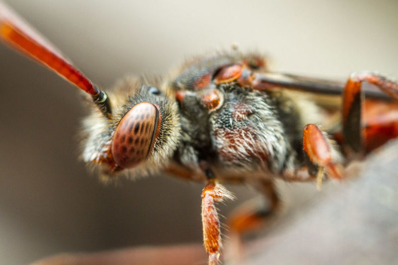 Extreme Close-Up Of Cuckoo Bee