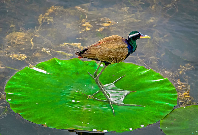 Bronze_winged_jacana Bird Bronze Winged Jacana Day Green Color Gunbir Lotus Leaf Nature No People Outdoors Water