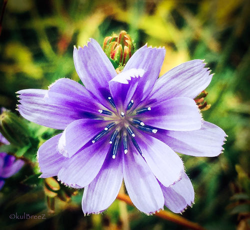 Chicory dicory..... Taking Photos StreamzooVille EyeEm Nature Lover My Love Life Mother Earth The Woods Wildflowers Flowerpower