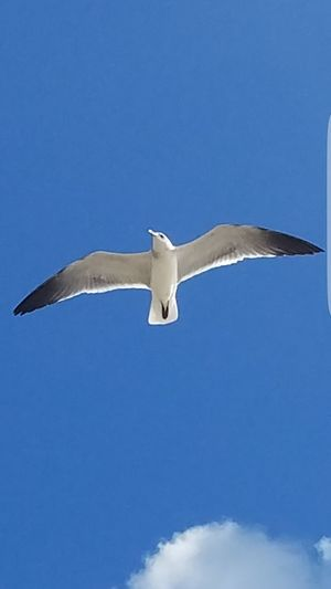Bird Flying Blue Spread Wings White Color No People Outdoors Nature Seagulls Flying Seagull, Birds, Flight, Fly, Hover, Feathers, Wings, Beaks, Span, Seagulls, Beach Seagulls Flying Over Me Sea Bird Seagull Sky Blue Sky Seagulls Seagullspotting