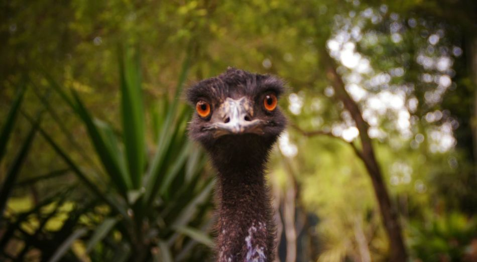 Close-up of emu
