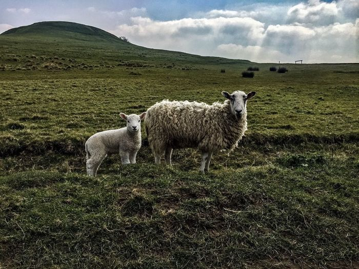 Portrait of sheep with lamb on grassy landscape against sky