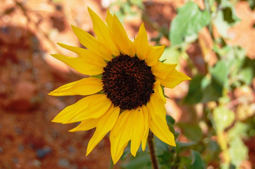 Flower Yellow Petal Fragility Flower Head Beauty In Nature Nature Freshness Growth Close-up Sunflower Pollen Plant Outdoors Blooming No People Day Desert Sun Flower SEDONA ARIZONA Paint The Town Yellow