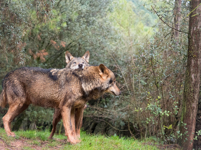 Couple of iberian wolves (Canis lupus signatus) Animals In The Wild Couple Endangered Species Nature Nature Photography Wildlife & Nature Wildlife Photography Animal Animal Themes Animal Wildlife Animals In The Wild Canis Lupus Carnivora Couple In Love Mammal Mammals Nature_collection Naturelovers Predator Tenderness WOlves Wild Wilderness Wildlife Wolf