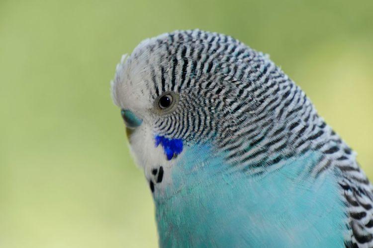 Budgerigar Blue