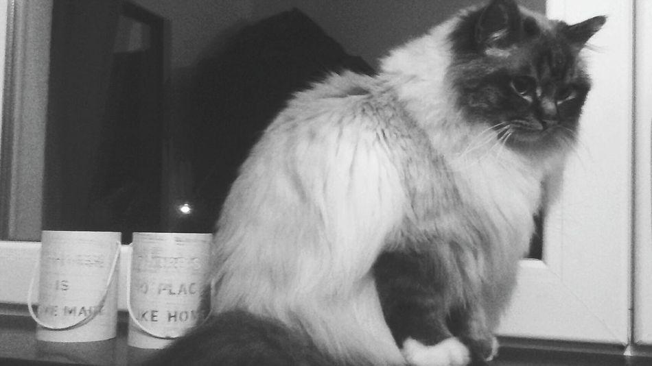 Feline Domestic Cat Cat Birman Cat Birmancats Pets