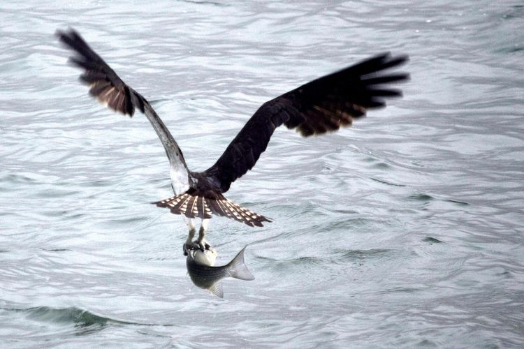Osprey With It's Catch Osprey With A Fish Spread Wings Bird Animals In The Wild Animal Wildlife No People Flying Animal Themes Water Nature Outdoors Day Bird Of Prey Close-up