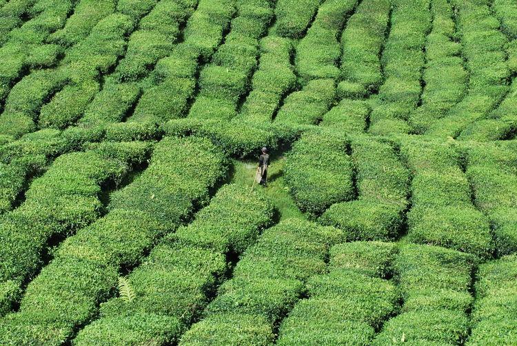 High angle view of man in tea plantation at cameron highland