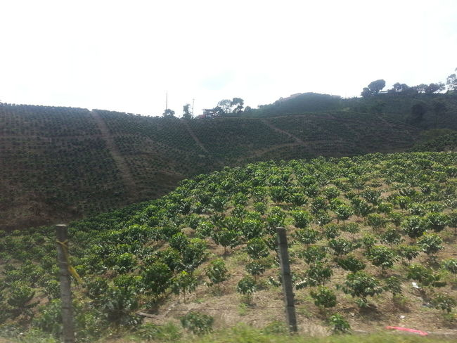 Cultivo de cafe. Colombia Es Bella Things That Are Green Eyem Nature Lover On The Road