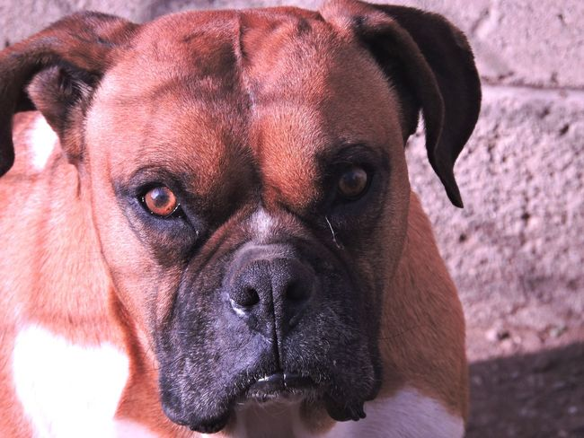 dog Pets Portrait Dog Looking At Camera Close-up Boxer Boxer - Dog Canine