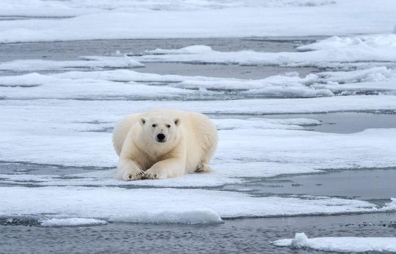 Polar Bear lying on ice, Svalbard Cold Temperature Animal Animal Themes Mammal Snow One Animal Polar Bear Bear Animals In The Wild Winter Ice Animal Wildlife Water No People Nature Arctic Svalbard