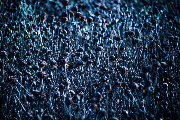 丫丫叉叉蓬头鬼,乌乌鸦鸦夜叉林,三几天前颜色好,听是唤做虞美人。 Blue Corn Popp Field Fine Art Photography Flower,fade Nature Wild Welcome To Black