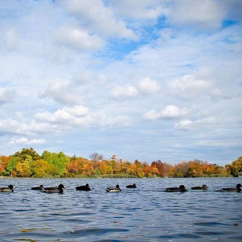 ducks in a row Belmontlakestatepark Belmontlake Babylon Westbabylon longisland newyork