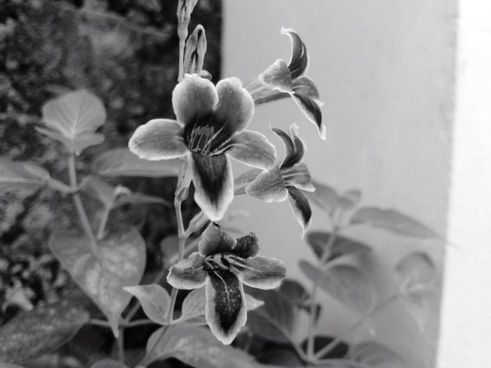 Blackandwhite IPhone Photography Plant Beauty In Nature Freshness EyeEm Photography Flowers From My Garden