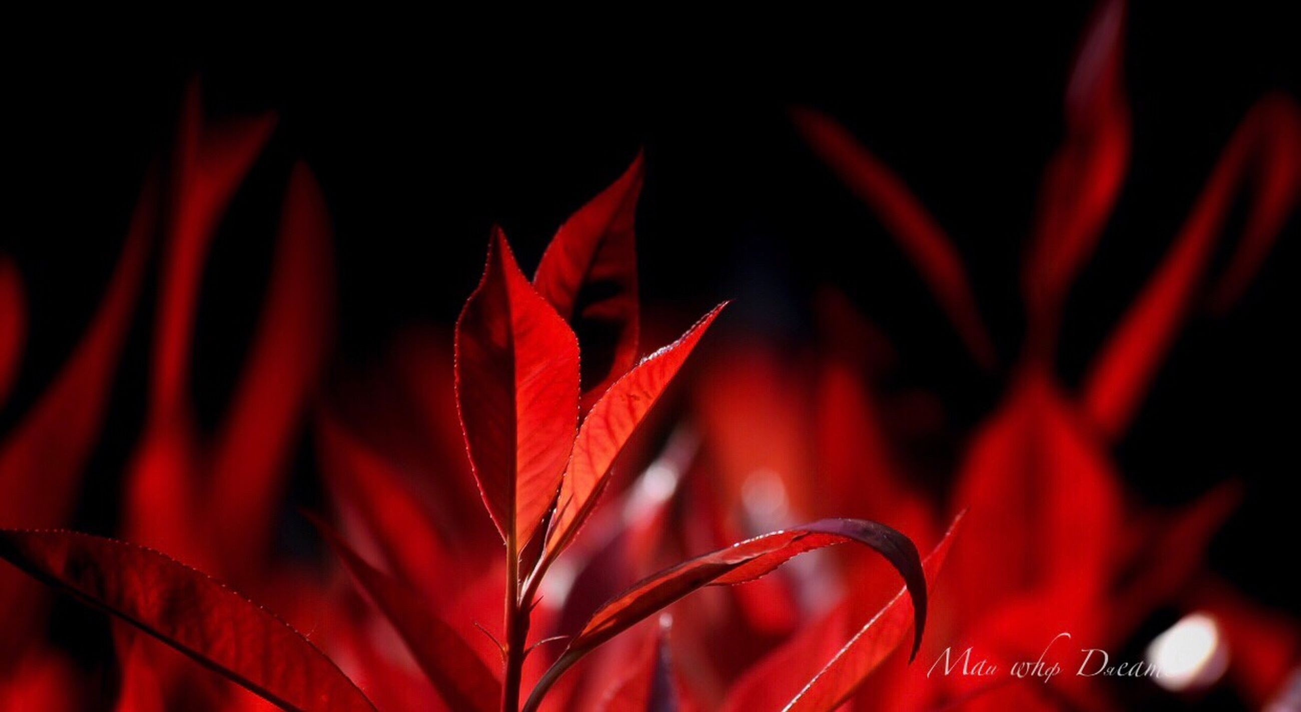 red, leaf, plant part, close-up, beauty in nature, plant, no people, nature, backgrounds, growth, petal, flower, focus on foreground, freshness, flowering plant, fragility, vulnerability, studio shot, outdoors, black background, flower head