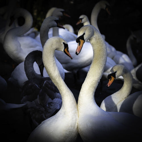 In love ... Swans Swans ❤ Group Of Animals Bird Animal Themes Animals In The Wild Animal Animal Wildlife Vertebrate Swan No People Nature Close-up Beauty In Nature Beak White Color Focus On Foreground Water Swimming Water Bird Large Group Of Animals Day Animal Neck Flock Of Birds