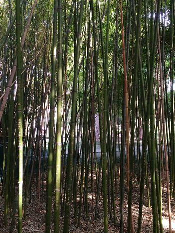 Bambus Wäldchen Hugging A Tree