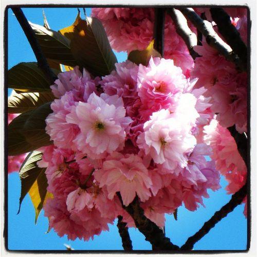 Kirazçiçeği Cherryblossom