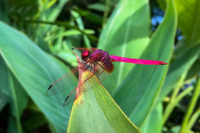 Pink dragonfly Crimson Dropwing Dragonfly Trithemis Aurora Crimson Marsh Glider Odonata Libellulidae Pink Dragonfly Luminous Pink Crimson Red Metallic Eyes Compound Eyes Transparent Wings Dragonflies Dragonfly Pasir Ris, Singapore September 2017 Animal Wildlife Animal Themes Invertebrate Insect One Animal Close-up Focus On Foreground Leaf Plant Green Color Nature Beauty In Nature Outdoors Day No People