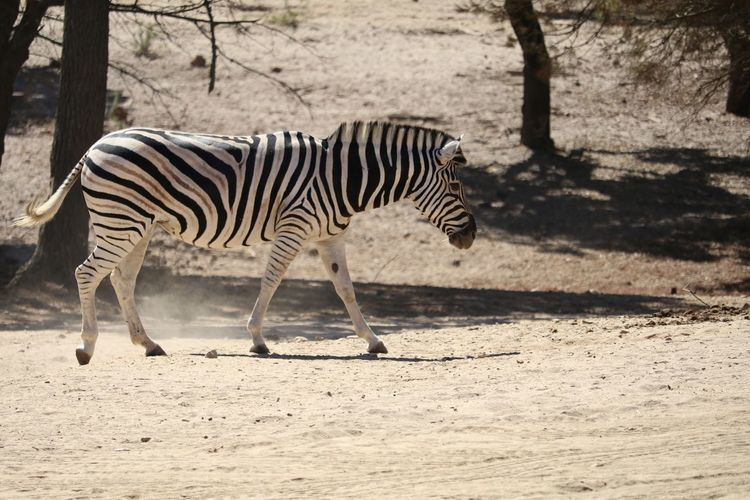Side View Of Zebra On Field