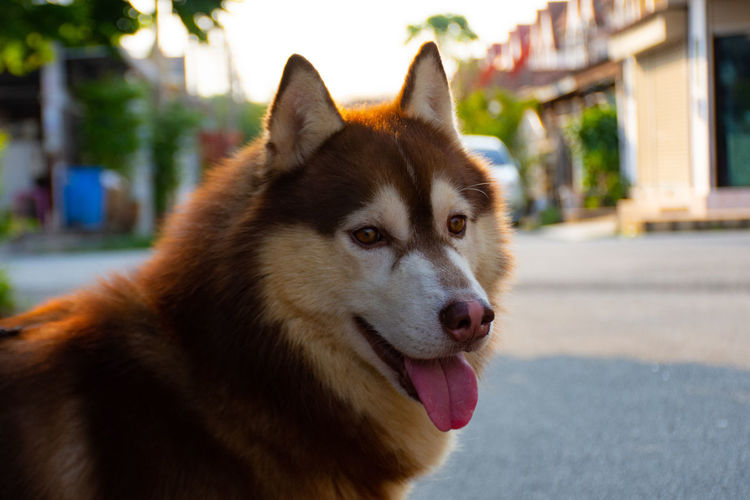 Copper Siberian dog fur , That is your pet in the House. Animal Animal Body Part Animal Head  Animal Themes Canine Close-up Day Dog Domestic Domestic Animals Facial Expression Focus On Foreground Looking Looking Away Mammal Mouth Open No People One Animal Outdoors Pets Siberian Husky Sticking Out Tongue Vertebrate