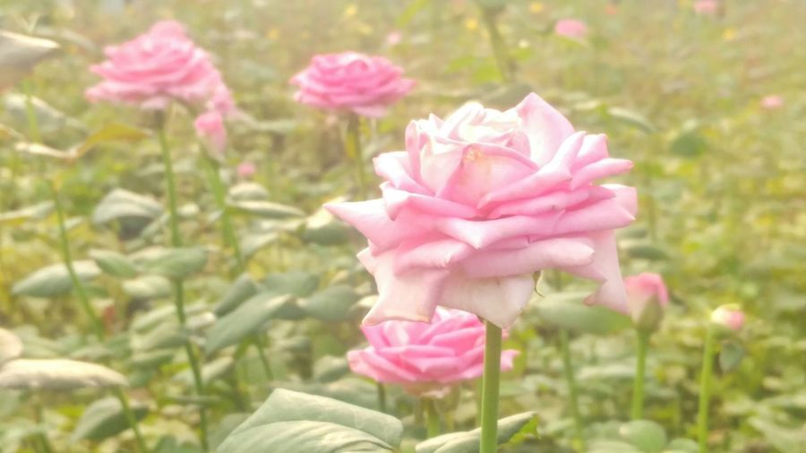 Summer Rose... Pink Color Flower Petal Nature Flower Head Beauty In Nature Day No People Peony  Outdoors Freshness Close-up Rose - Flower Plant Fragility