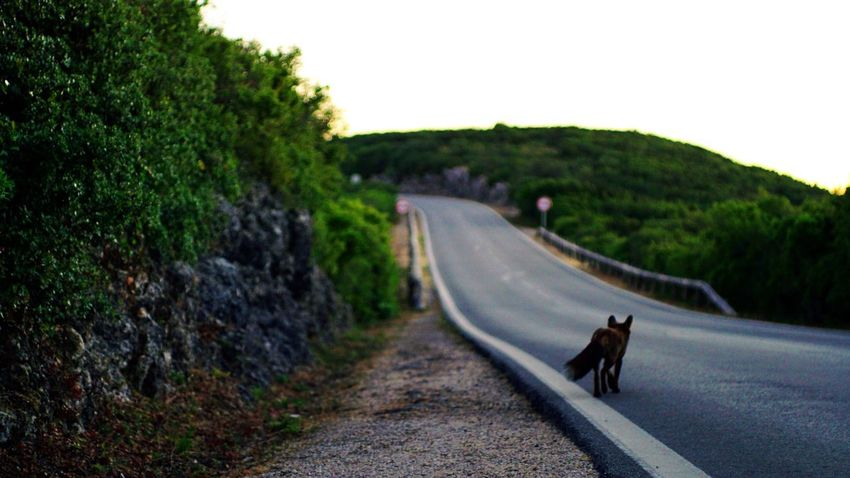 Goodbye Animal Themes Road Mountain Mountain Roads The Way Forward Animal Trees Day Animal Wildlife Walking Outdoors Nopeople Nature Fox