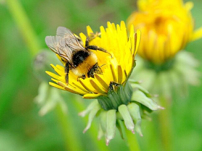 Bees Insect Photography Bees And Flowers Naturephotography The Essence Of Summer Summer Views Blossoming Fresh & Bright Nature_collection Dandelion Flowers Dandelion Macro Dandelion Collection Finland Summer2016 Colours Of Nature Naturelovers