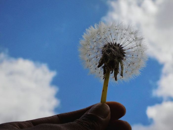 Hand EyeEm Best Shots Taking Photos Taking Pictures Human Hand Flower Holding Flower Head Personal Perspective Sky Close-up Cloud - Sky Dandelion Seed Dandelion Single Flower Stem Seed Pollen Wildflower Uncultivated Plant Life Plant Stem Softness Fragility Young Plant