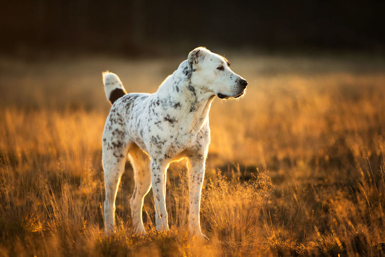 View of dog looking away on field