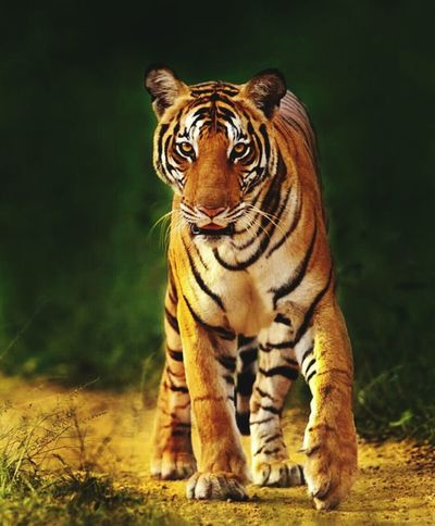 One Animal Tiger Animal Wildlife Animals In The Wild Mammal Full Length Nature
