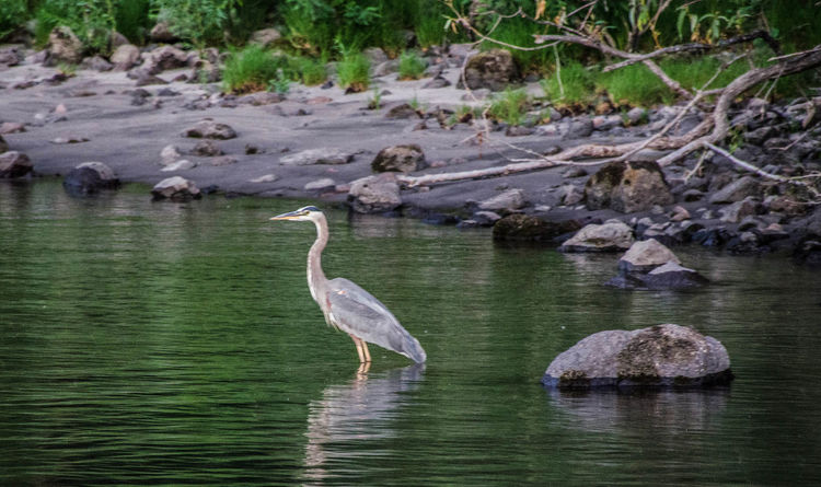 Beauty In Nature Bird Bonneville Dam Columbia River Herron Nightphotography Reflection Vacations Wildlife Zoology