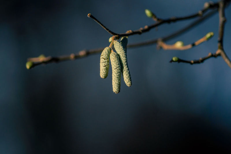 Close-up of catkins on branch