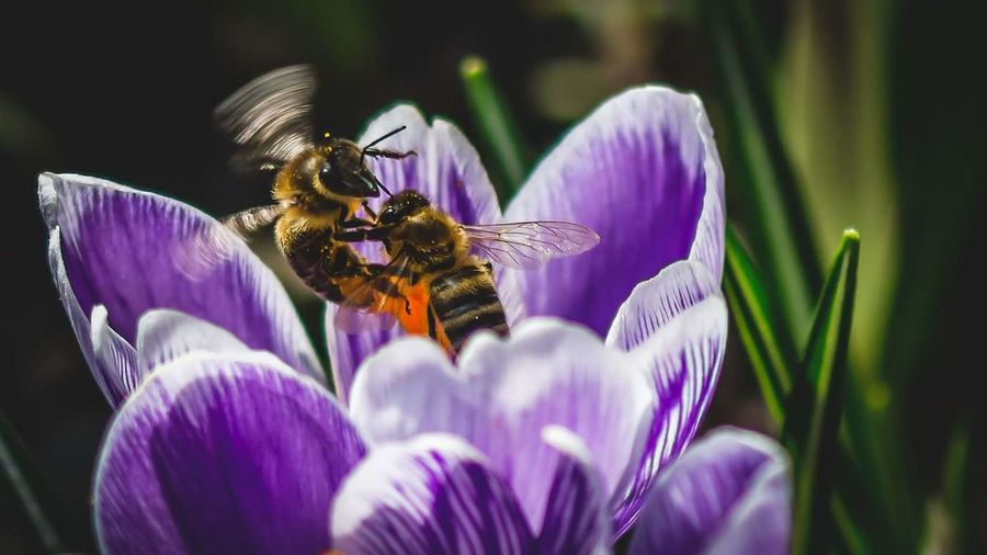 Close-up of insects pollinating purple flower