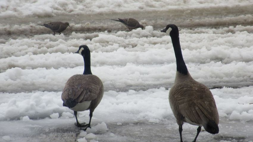 EyeEm Selects Bird Winter Snow Animal Animal Themes Animals In The Wild Cold Temperature Nature Beauty In Nature Animal Wildlife Day Outdoors Goose