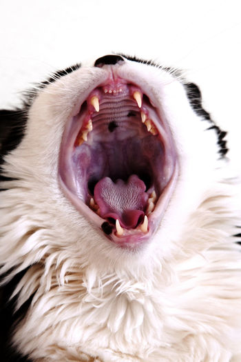 Black And White Cat City Close-up Domestic Cat Fluffy Furry Male Mouth Open Pet Teeth Vertical Yawning Yawning Cat