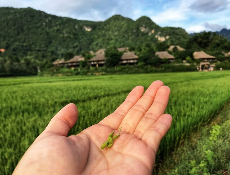 Sustainability EyeEm Nature Lover In Touch With Nature Bungalow Rice Grain Rice Field Human Hand Human Body Part Focus On Foreground Human Finger Real People Green Color Field Mountain Outdoors Nature Beauty In Nature