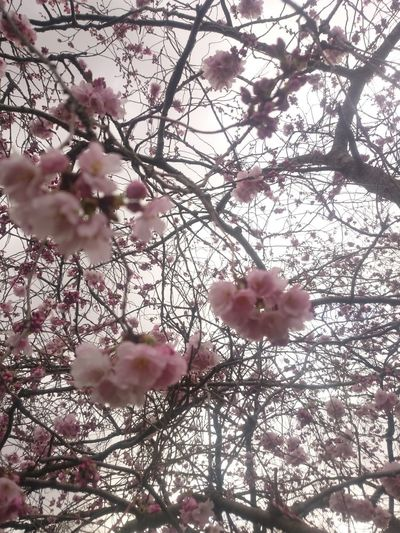 Beauty In Nature Blossom Branch Bunch Of Flowers Cherry Blossom Cherry Tree Day Flower Flower Head Flowering Plant Fragility Freshness Growth Low Angle View Nature No People Outdoors Pink Color Plant Spring Springtime Tree Twig Vulnerability