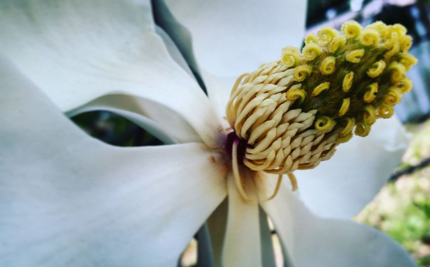 Flower Flower Head Close-up Fragility No People Nature Beauty In Nature Outdoors Plant Day Bouquet Freshness Floral Photography Springtime Plant Nature Garden Beauty In Nature Petal Lovely Magnolia Louisiana Tree