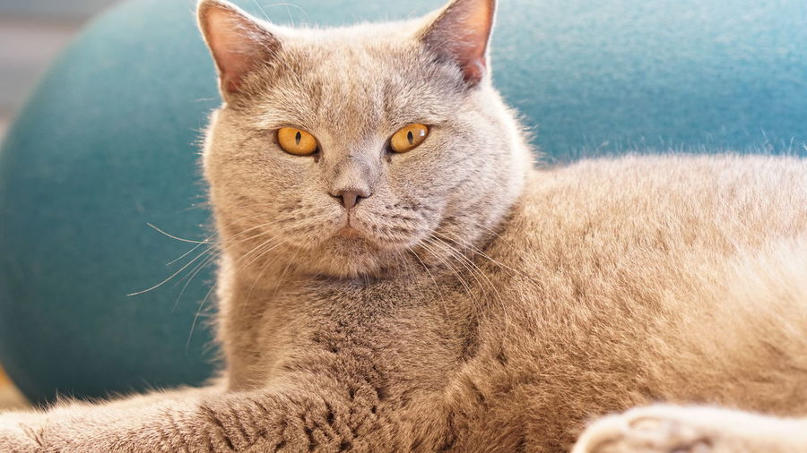 Close-up portrait of cat resting