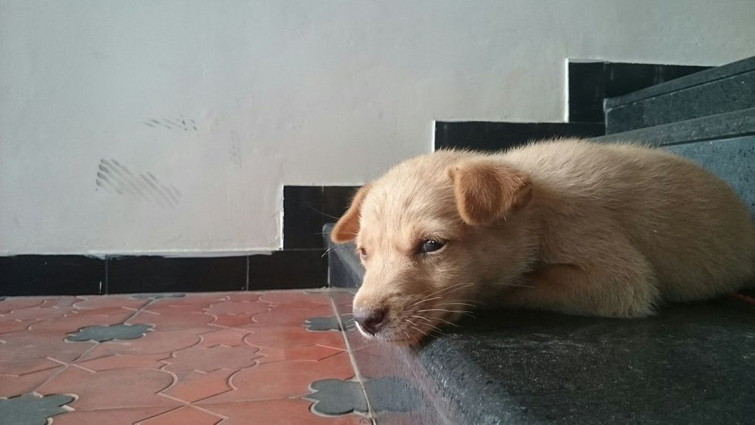 Roadside pup. Homeless guy just got a new home !!! He is quite naughty and damn cute . Finally resting now after doing all naughty works in his new home ... Hello World Check This Out Puppy Dogs Popular Photos I Love My Dog Cute No Filter, No Edit, Just Photography Mobiography AmmuzClikzzz Pet Portraits