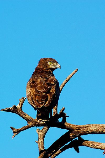 Brown eagle in tree Animals In The Wild Bird Blue Brown Eagle Clear Sky One Animal Perching Wildlife Yellow Eye Yellow Eyes