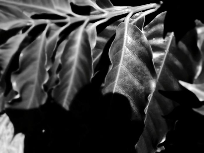 Patterns In Nature Textures In Nature Leaves Black And White Black And White Photography EyeEm Selects Backgrounds Close-up Abstract Backgrounds Textured  Color Gradient Textured Effect Abstract