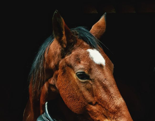 One Animal Horse Animal Head  Animal Domestic Animals Black Background Animal Themes Brown No People Close-up Portrait Studio Shot Mammal Day Outdoors EyeEmNewHere This Is Masculinity